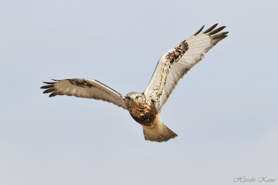 Rough-Legged Hawk 121713-02