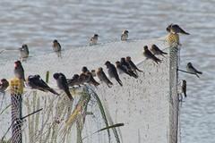 animal, perching bird, wing, fauna, swallow, shorebird, beak, bird, wildlife,