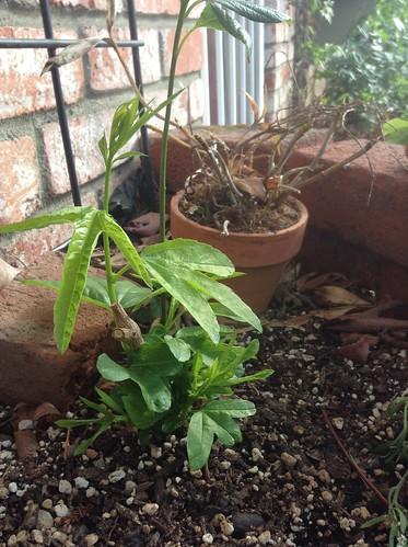 Passiflora 'Oaklandia'
