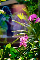 Deep Fuchsia Orchid by a Fountain