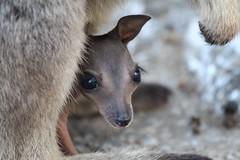 wallaby(0.0), animal(1.0), mammal(1.0), fauna(1.0), close-up(1.0), viverridae(1.0), macropodidae(1.0), wildlife(1.0),