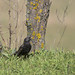 Common Starling / Seregély / Sturnus vulgaris
