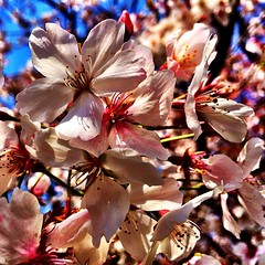 So happy to see the last of the #sakura after spring break (usually they\'re all gone)