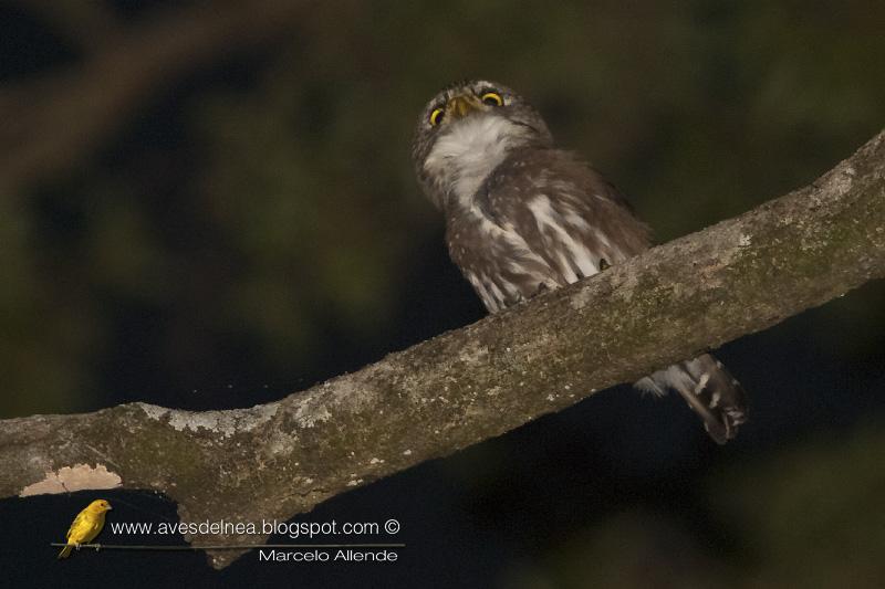Caburé chico (Ferruginous Pygmy-Owl) Glaucidium brasilianum