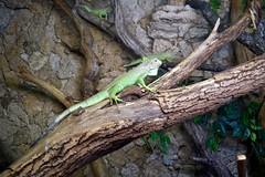 """Lizard"" at Riga Zoo"