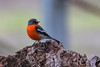 Flame Robin 2014-04-21 (_MG_4225)