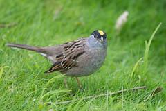 animal, ortolan bunting, fauna, emberizidae, beak, bird, lark, wildlife,