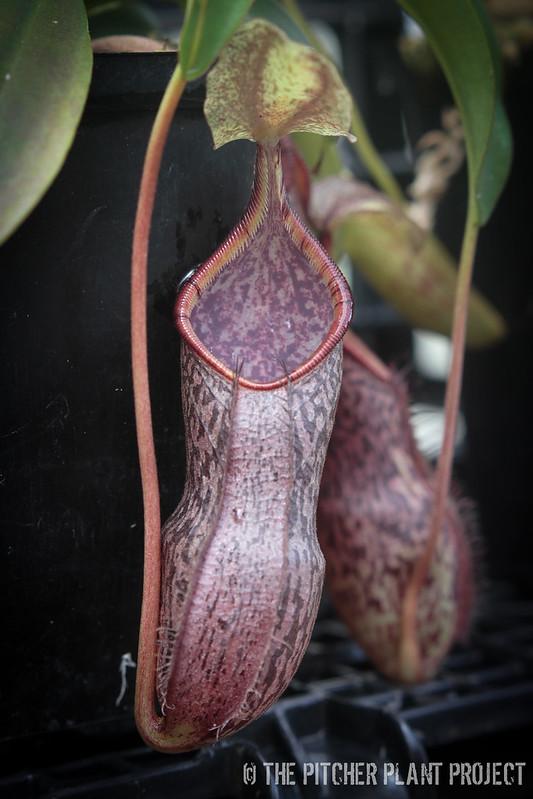 Nepenthes spectabilis x singalana