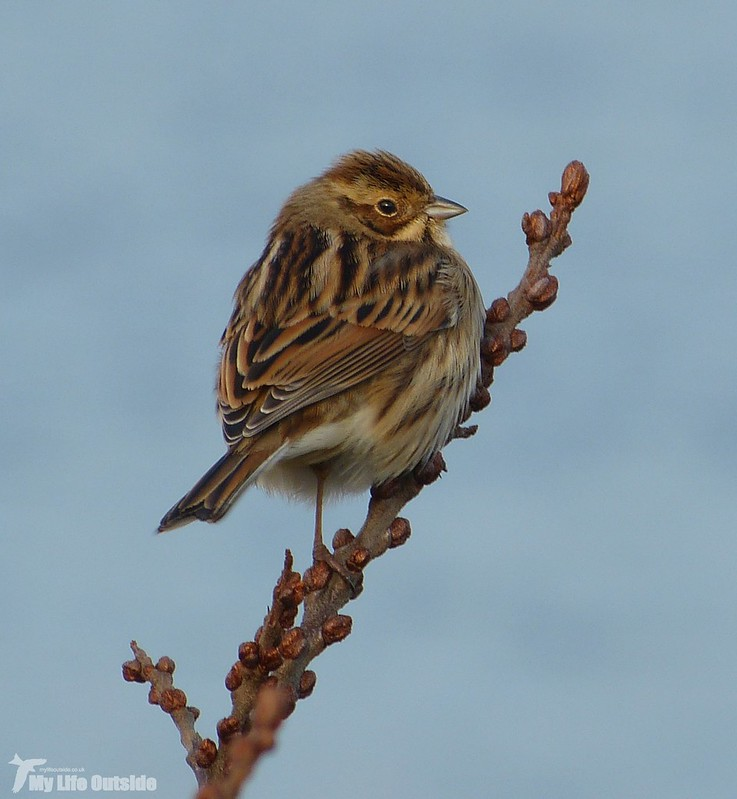P1110116 - Reed Bunting, Burry Port
