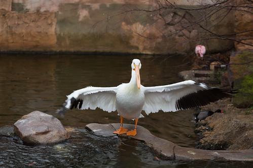 Pelican (Open WIngs)