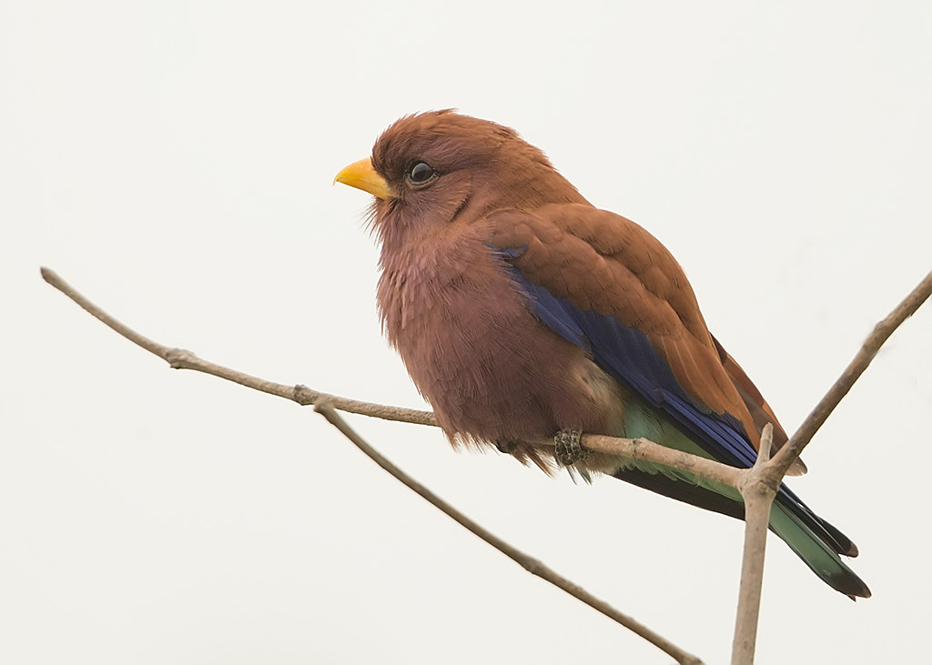 Broad-billed Roller Gambia