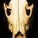 Canid Skull