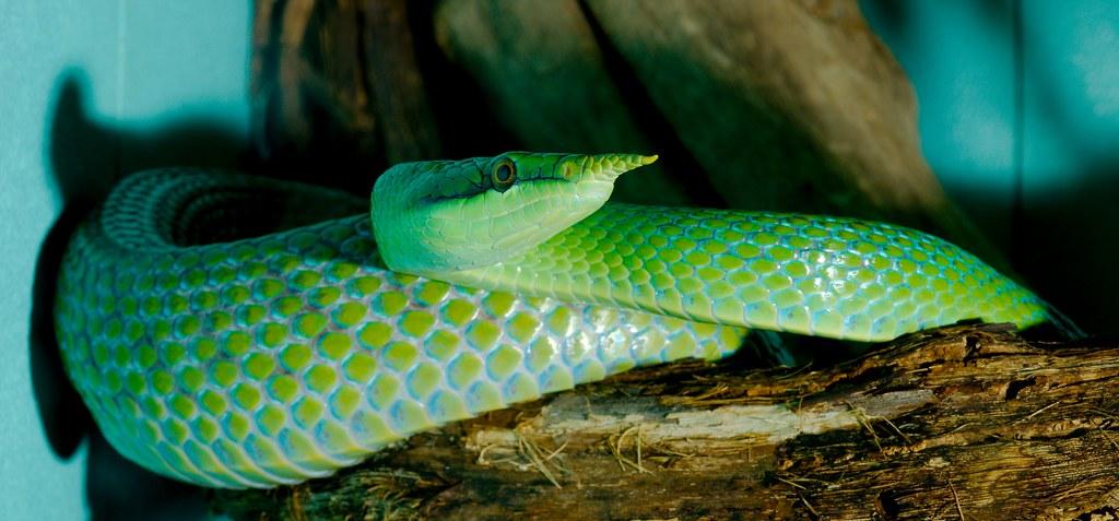 Vietnamese Long Nosed Snake (Rhynchophis boulengeri)