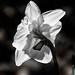 Daffodils_20130406_26-Edit-Edit-Edit.jpg