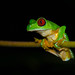 Red-eyed Tree Frog. Tim Melling.