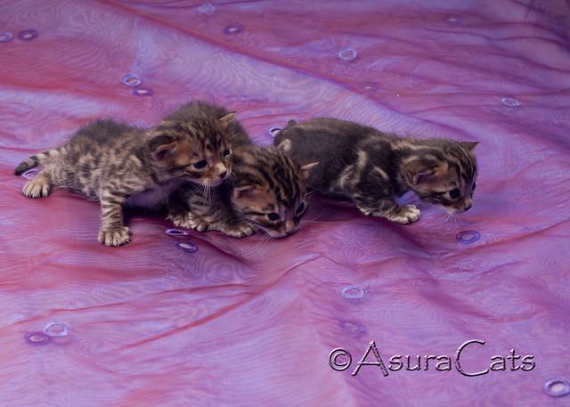 AsuraCats kittens