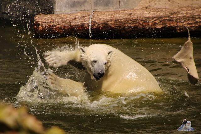 Eisbär Fiete im Zoo Rostock 07.05.2016  0197