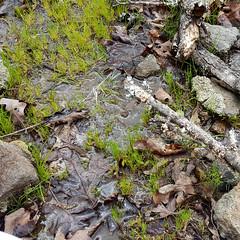 Isolepis pseudosetacea habitat