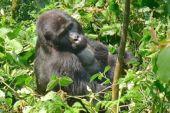 Uganda, Berggorilla im Bwindi-Nationalpark. Foto: Günther Härter.