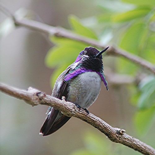 A rare moment... Costa's Hummingbird sitting quietly on a branch by jungle mama