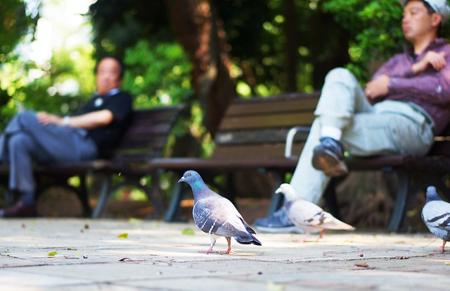Pigeons in Park