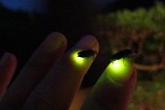 Firefly 2013 (Munakata)