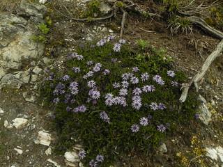Globularia cordifolium=Globulaire à feuilles en coeur