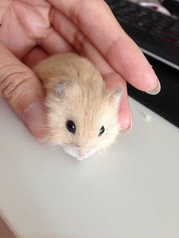 Winter gold hamster