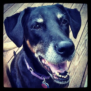 Happy 11th Birthday Lola! #dobermanmix #dogstagram #birthday #rescue #adoptdontshop #love #smile