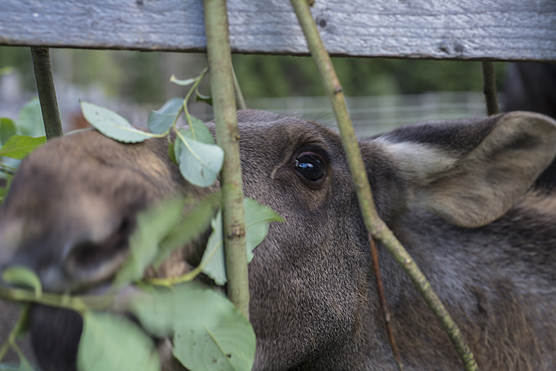 young moose 1