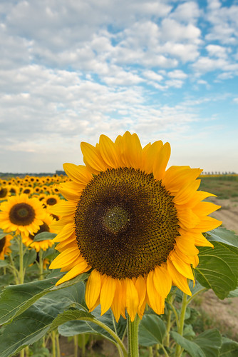 Large Sunflower early in the morning by RuudMorijn
