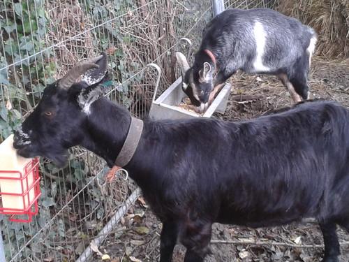 goat lick Oct 13