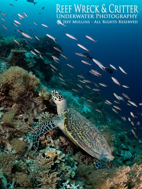 Turtle & Fusiliers - Kri Island