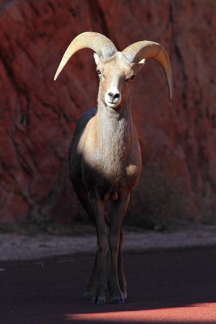 IMG_7536 Desert Bighorn Sheep