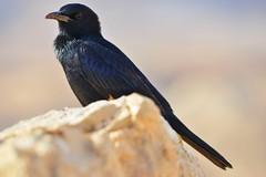 DSC_2626-Tristrams starling