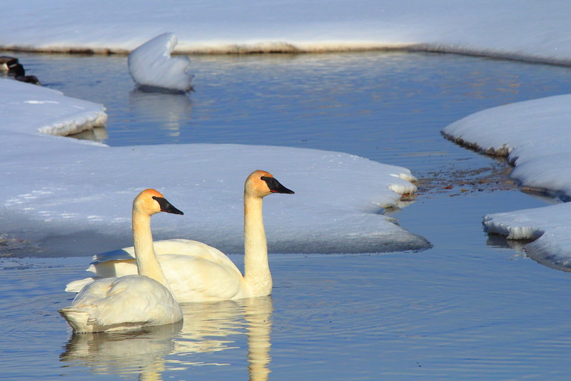 IMG_1161 Trumpeter Swan, National Elk Refuge
