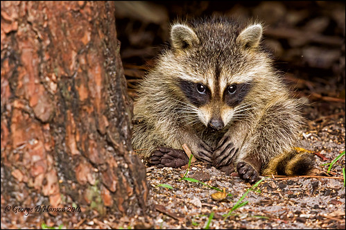 baby florida westpalmbeach kit raccoon juvenile procyonlotor okeeheeleepark sigma500mm northamericanraccoon pentaxk3