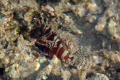 Scorpaenidae>Pterois Lionfish DPP0465
