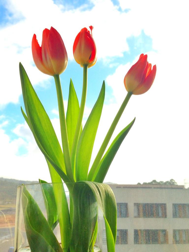 Tulipanes [155/365]