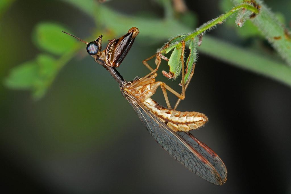 Мантиспид Mantisfly