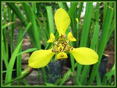 AIris-like flower of Trimezia steyermarkii (Yellow Walking Iris), August 29 2013