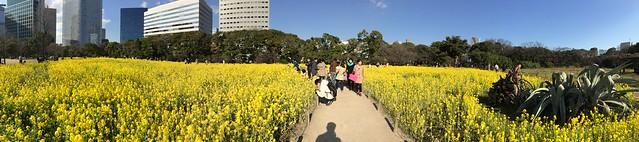 iPhone5sで撮影 浜離宮恩賜庭園の菜の花 2014年3月22日