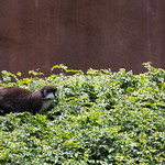 Spot nosed guenon, San Diego Zoo