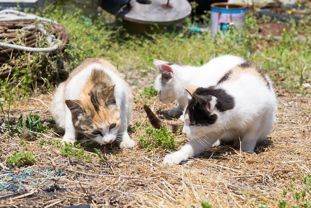 真鍋島 ネコ