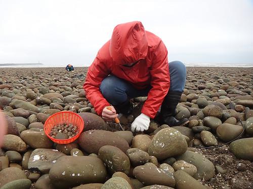 挖「赤嘴仔」,是這帶沿海人們賴以維生的方式之一。圖片提供:沙浪。