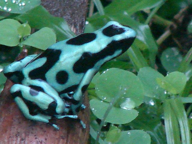 poison-dart-frog-1