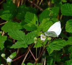 30 april vlinders tellen