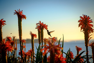 humming bird in red aloe