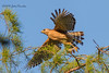 Red-shouldered Hawk launch