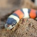 Western Milksnake - Photo (c) Andrew DuBois, some rights reserved (CC BY-NC)